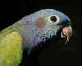 blueheaded parrot